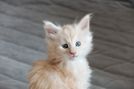 warm blooded: a Maine Coon Kitten Stock Photo