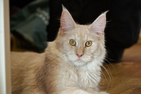 warm blooded: a Maine Coon Youngster Cat