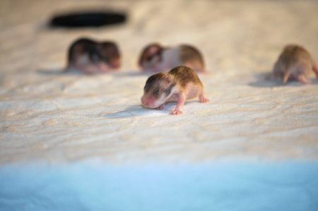 warm blooded: a few Days old Throw of Golden Hamster