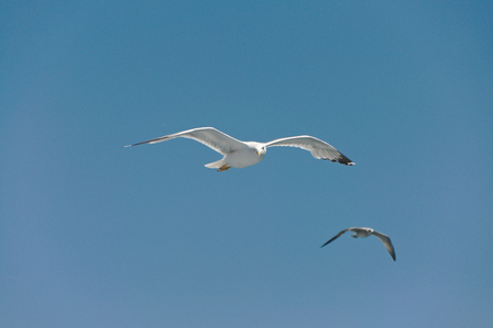 blooded: floating Seagull, playing with the Wind