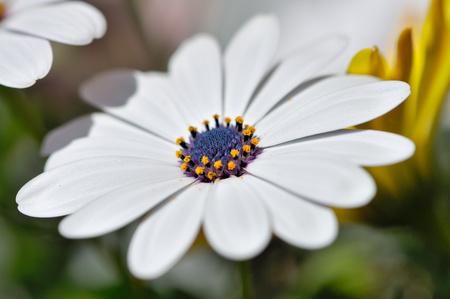 farina: Marguerite