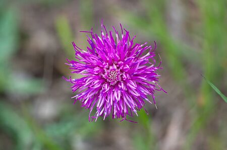 centaurea: a Centaurea jacea Stock Photo