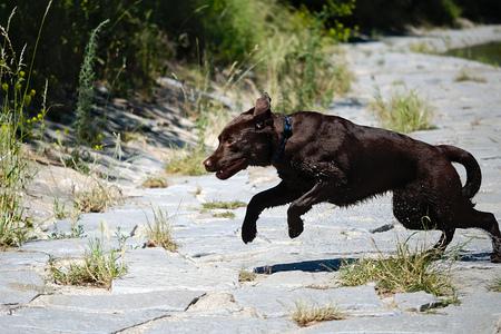romp: a running labrador Dog