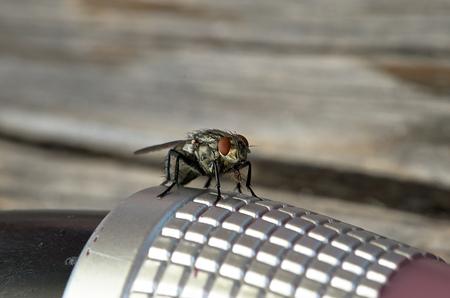 housefly: a Housefly Stock Photo