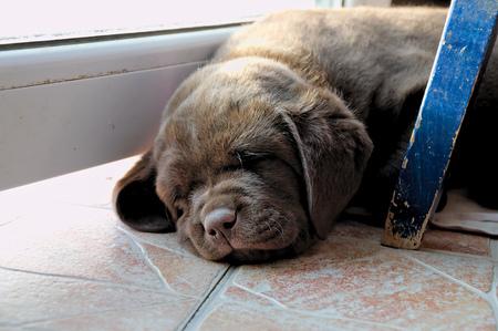 whelp: a brown cute Labrador Puppy