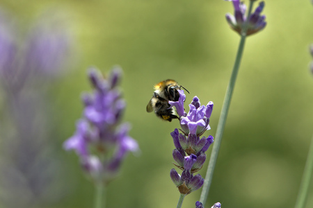 lavandula angustifolia: Bumblebee on Lanvender Stock Photo