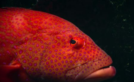 Close up of orange tropical fish with pink spots in an aquarium Stock Photo