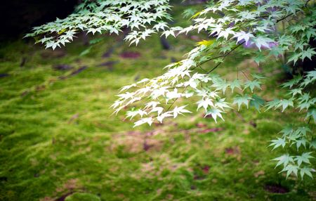 Green Japanese Maple leaves against green moss covered ground
