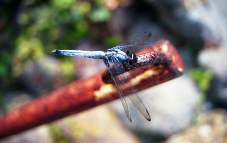 Dragonfly on pipe in Shodoshima, Japan Stock Photo
