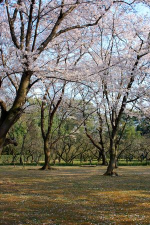 Trees of cherry blossoms in a Japanese garden