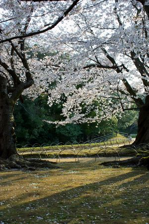 Two cherry blossom trees in a Japanese garden