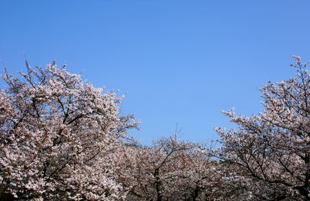 Trees of cherry blossoms with clear blue sky above