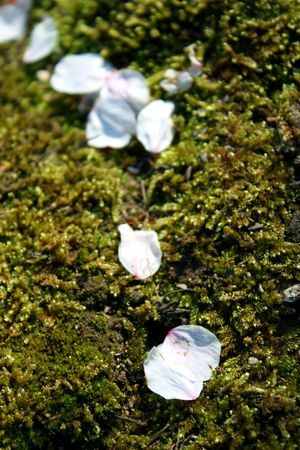 Fallen cherry blossom petals on mossy ground