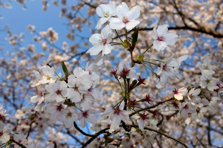 Many white cherry blossom flowers blooming in spring time.