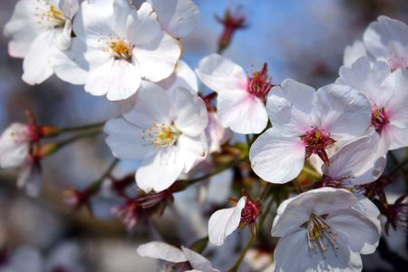 Close up of white cherry blossom flowers blooming in spring time Stock Photo