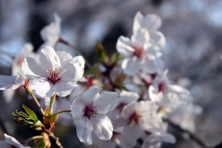 Close up of white cherry blossom flowers blooming in sunshine