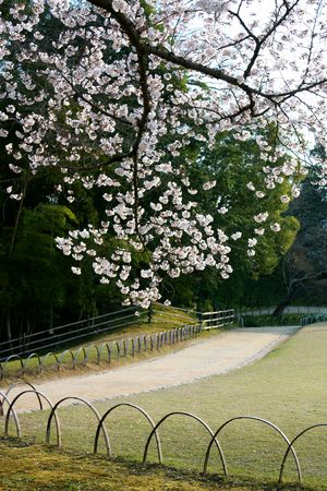 A branch of cherry blossoms in a Japanese Garden park Stock Photo