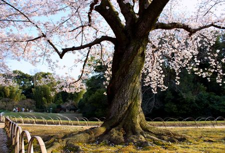 A twisted cherry blossom tree in a Japanese garden park