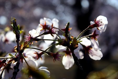 Close up of white cherry blossom flowers, nearly silhouette
