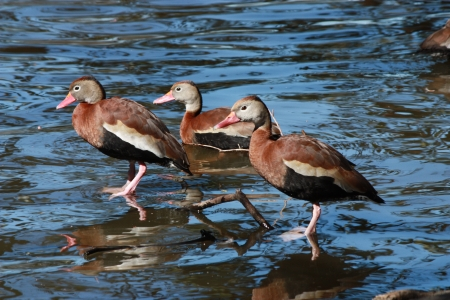 Three Black-bellied Whistling Ducks in New Orleans