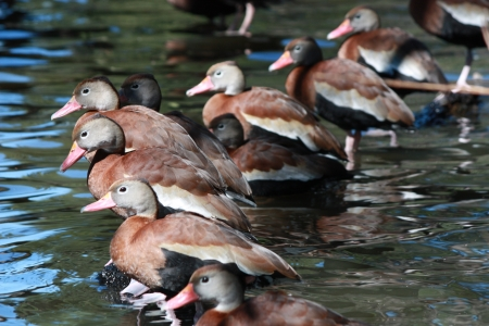 Black-bellied Whistling Ducks lined up in a row Stock Photo