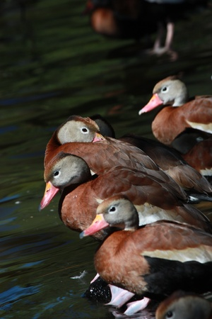 Black-bellied Whistling Ducks, one nuzzling Stock Photo