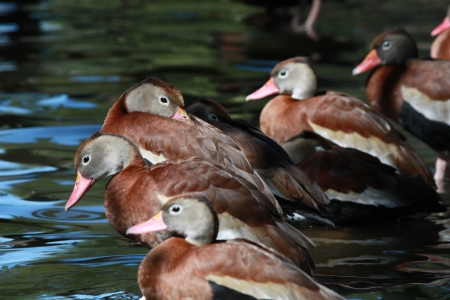 Black-bellied Whistling Ducks seen in New Orleans, one nuzzling