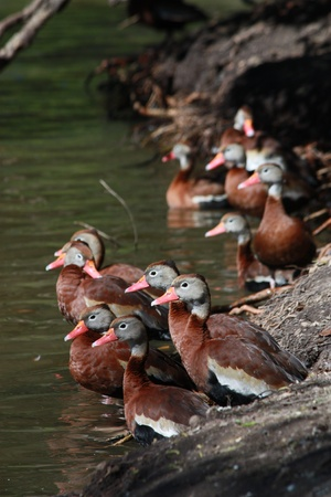 Many Black-bellied Whistling Ducks in a park in New Orleans