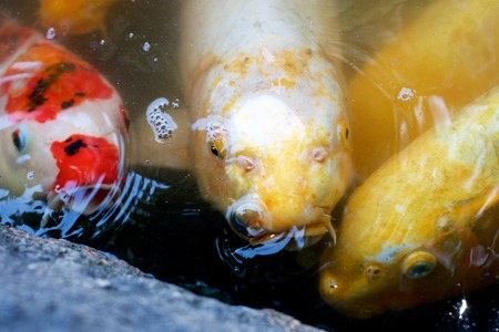 Three Carp, Japanese Koi, searching for food Stock Photo