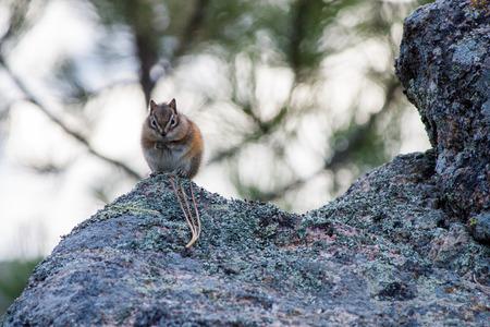 Least Chipmunk (Tamias minimus) foraging at Mount in the Black Hills of South Dakota Stok Fotoğraf