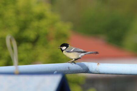 Great tit on the balcony close-up