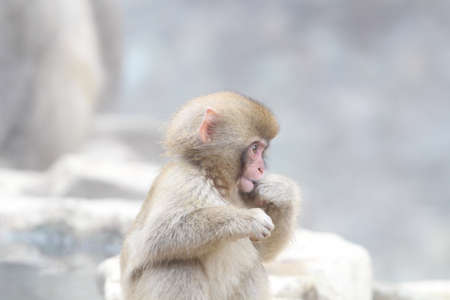 Japanese snow monkey in a hot spring