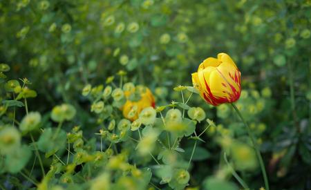 早春に黄色のチューリップ。