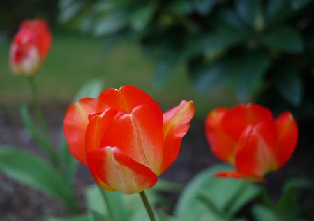 春先に赤チューリップ