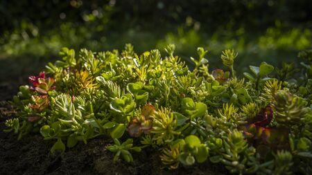 早朝太陽光線で照らされてセダム植物 写真素材
