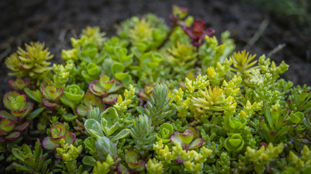 green plants: Sedum or the miniature forest Stock Photo