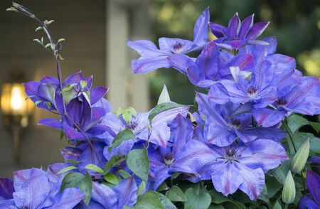 前に咲いた紫のクレマチスを庭します。