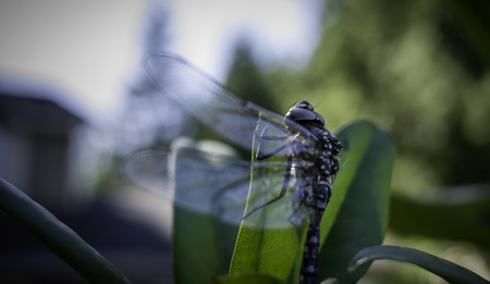 シャクナゲの葉に光を求めているトンボ。 写真素材