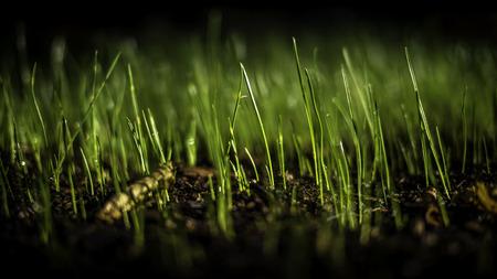 3 週間前に蒔かれた種と草が骨抜きにちょうど 写真素材