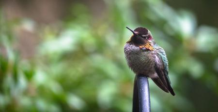 金属工場のブラケットの上に腰掛けてアンナハチドリは彼女の羽を毛羽で保温しようとしています。