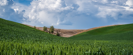 Panorama: Trees between hills in The Palouse