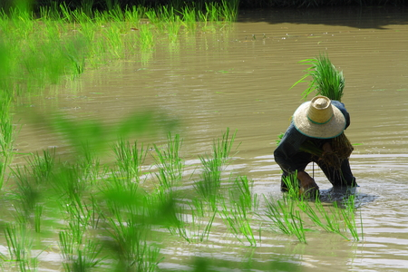 southern of thailand: farmer Southern Thailand