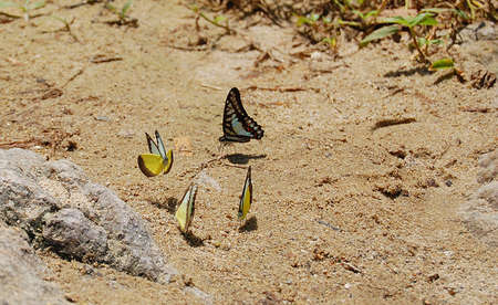 river bank: a family of yellow butterfly resting on the river bank
