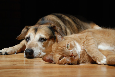 Orange cat lying on wood floor with sleepy dog in background.