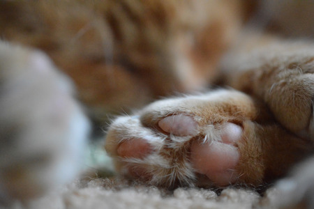 catnap: Close-up paw of cat napping on soft blanket Stock Photo