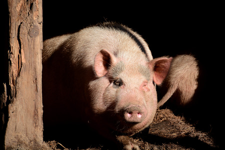 swines: Portrait of pig in pen, front view Stock Photo
