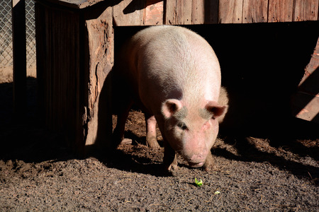 pigpen: Pig in pen, ready to eat, front view Stock Photo