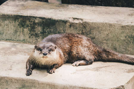 Oriental small-clawed otter (Amblonyx cinereus), also known as the Asian small-clawed otter standing together with their group. Banco de Imagens