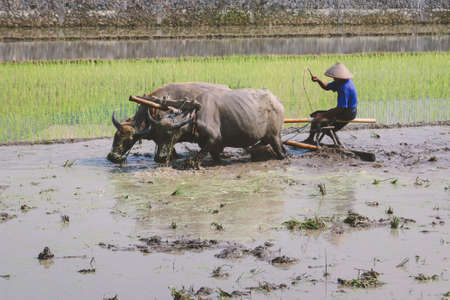 Farmer plowing paddy field with pair oxen or buffalo.