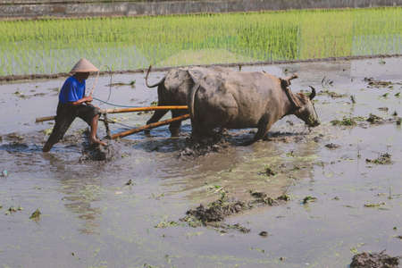 Farmer plowing paddy field with pair oxen or buffalo. Banco de Imagens